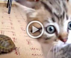 Este gatito acaba de conocer a una tortuga. Lo que sucedió después no se puede describir...