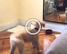 Este Golden retriever se ve reflejado por primera vez y trata de hacerse amigo de sí mismo