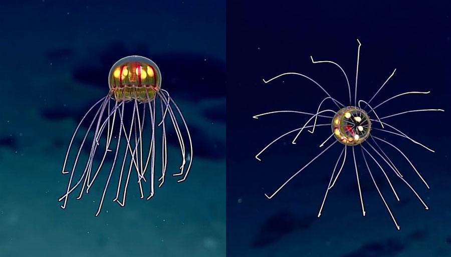 Nueva especie de medusa descubierta a casi 4 km. por debajo de la superficie del océano