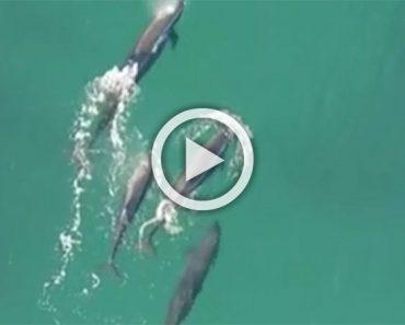 Imágenes inéditas desde un drone muestran como un grupo de orcas cazan y se comen a un tiburón