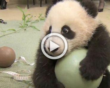 Este panda se niega a dejar su juguete. Mira su reacción cuando intentan quitársela