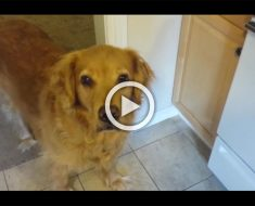 Esta Golden Retriever no quiere comer su alimento. Mira el truco que hace su propietario