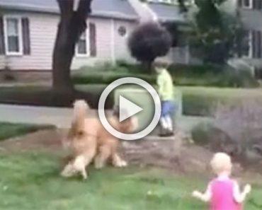 Este enorme perro de servicio juega con los niños, pero cuidado cuando el niño de verde que corre lejos