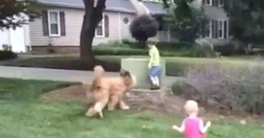 Este enorme perro de servicio juega con los niños, pero cuidado cuando el niño de verde que corre lejos 1