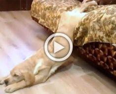 Este perro soñoliento parece horriblemente incómodo, pero atención cuando toca el suelo...