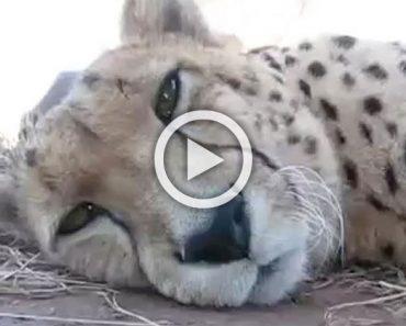 Este guepardo soñoliento mira a la cámara, ahora escucha con atención cuando hace ESTO... ¡Increíble!
