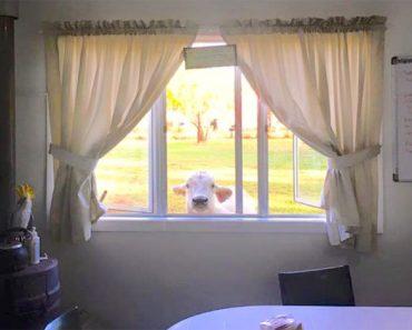 Esta vaca se acerca hasta una ventana. Pero nadie esperaba que hiciera esto, ¡hilarante!