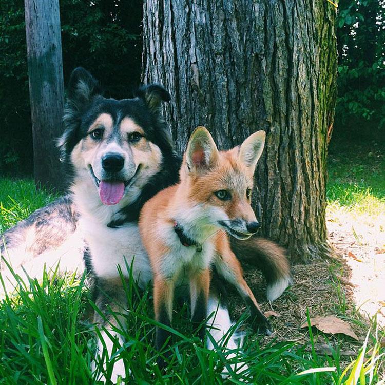 Este zorro es el mejor amigo de un perro. Cuando veas sus fotos, te enamorarás...