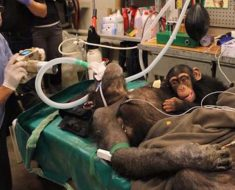 bebe-chimpance-madre-operacion-1