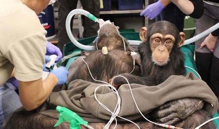 Chimpancé bebé se niega a dejar a su madre durante la cirugía. Entonces los médicos hacen esto...