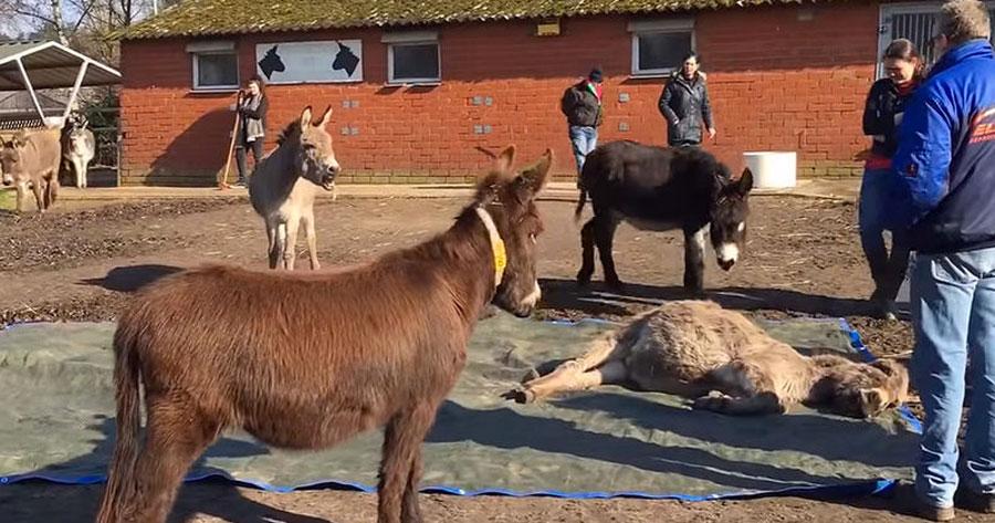 Lo que estos burros hicieron cuando su amigo murió rompe el corazón de quien lo ve