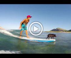 Graban a este pequeño cerdo haciendo surf... Cuando la cámara se acerca me quedó ASOMBRADO