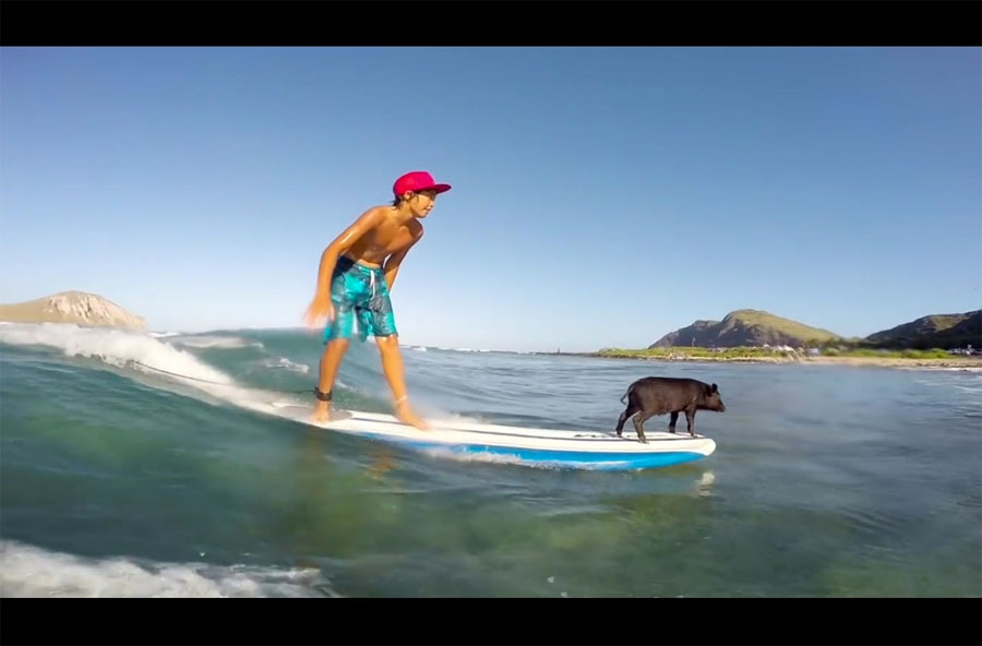 Graban a este pequeño cerdo haciendo surf... Cuando la cámara se acerca me quedó ASOMBRADO 1