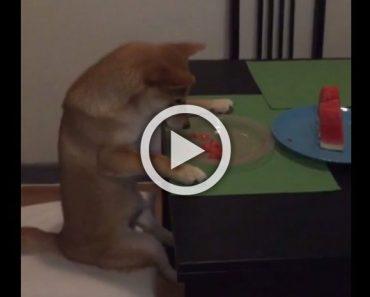 Sentarse para comer sandía en la mesa parece algo normal. Pero, un momento... ¿Es un perro?