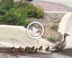 Mamá pata conduce a sus 12 patitos por la calle. Ahora mira quién va detrás de ellos...