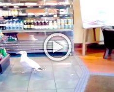 Una gaviota entra en una tienda, ahora mira lo que hace cuando llega a los estantes ... ¡Hilarante!
