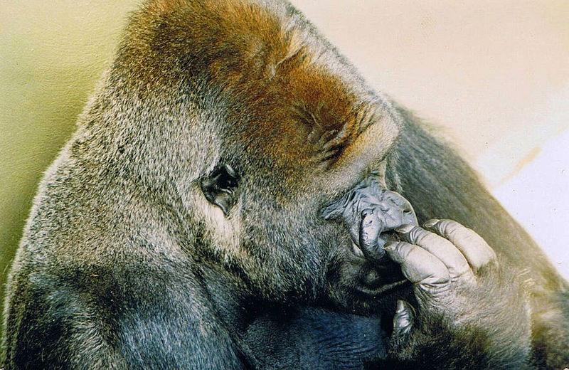 Este hombre estará 'siempre agradecido' del gorila que salvó su vida cuando era niño y ocurrió esto