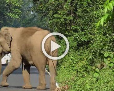 Esta madre elefante bloquea una carretera. Ahora mira con atención a la derecha...