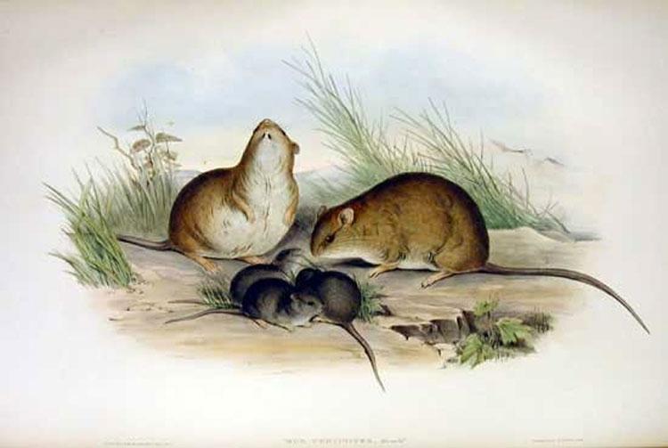 Este es el primer mamífero que se ha extinguido debido al cambio climático
