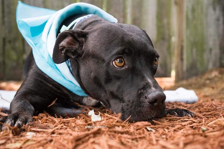 Este perrita que perdió sus patas ayuda a personas que son como ella