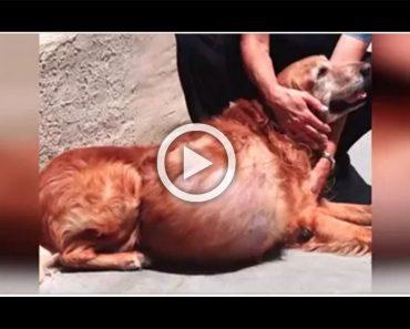 Encuentran a un perro con un terrible tumor de 20 kilos. Su historia acaba así...