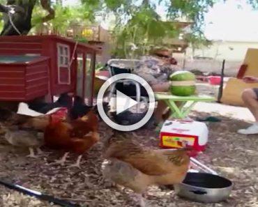 Estaban con sus tranquilas gallinas hasta que de repente algo EXPLOTA y ocurre esto... ¡Hilarante!