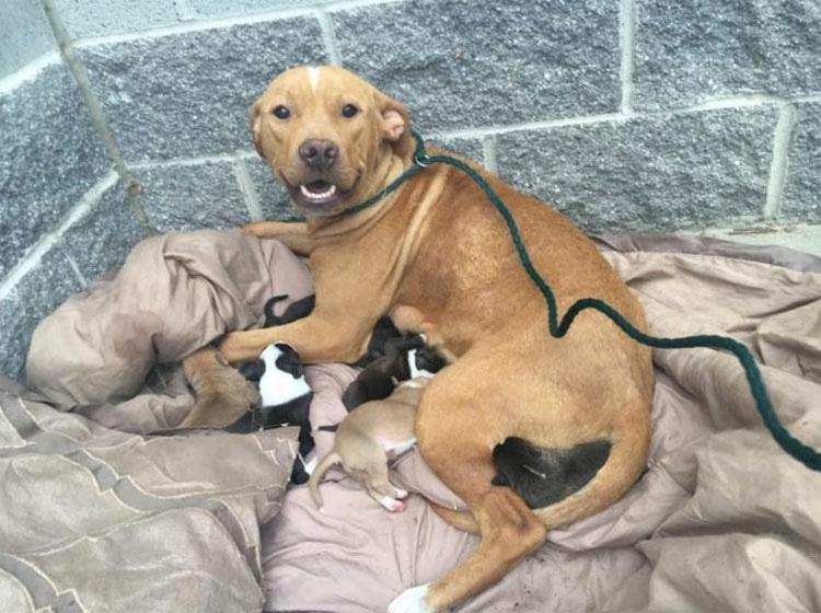 Esta pitbull da a luz a 10 cachorros. ¿Momentos después? Lo impensable ...