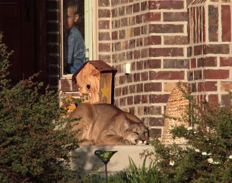 Un puma se queda en una puerta... ¿Cuando veo dónde está? ¡ESPANTOSO!