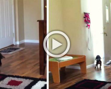 Este perro escucha a alguien en la puerta. Ahora mira quién entra por la puerta...