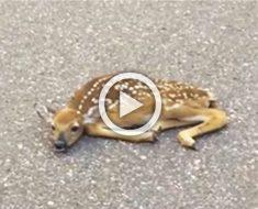 Cuando vieron a este cervatillo en mitad de la carretera, no tenían ni idea de lo que le pasaba...