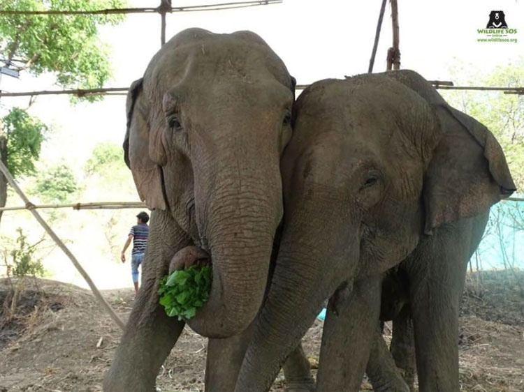 Cargan a cuatro elefantes maltratados en camiones. ¿A dónde los llevan? Todo un milagro...