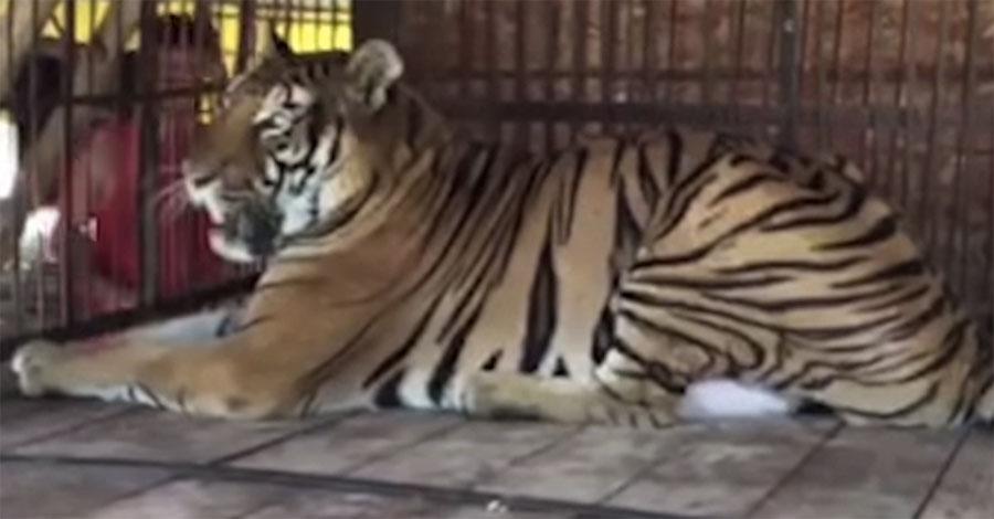 Este tigre pasó años enjaulado. Mira el momento en que siente la hierba sobre sus patas