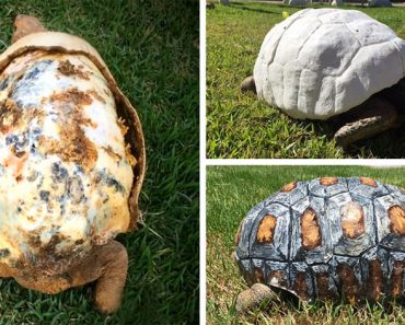 Esta tortuga perdió su caparazón por un fuego. Cuando la encuentran, sucede algo asombroso