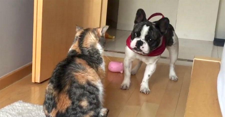 Este bulldog trata desesperadamente de jugar. ¿La reacción del gato? ¡Divertidísima!