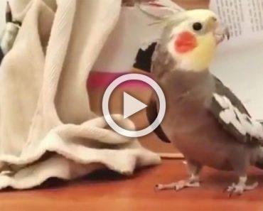 Esta cacatúa quiere mostrar su nuevo talento. ¡Cuando lo hace no paras de reír! 1