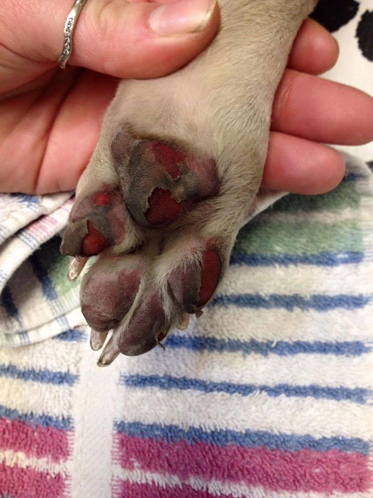 No dejes que esto le suceda a las patas de tu perro este verano. Usa estos consejos