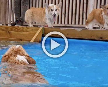 2 cachorros corgi ven a su amigo en la piscina. Ahora mira cuando hacen ESTO. ¡Adorables!
