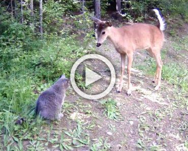 Sorprende a su gato haciendo algo extraño en el bosque. Pero sigue mirando al ciervo ...