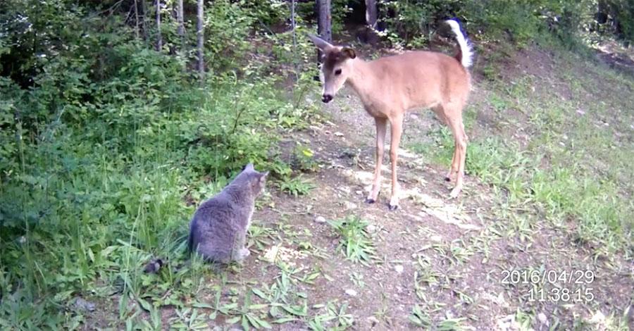 Sorprende a su gato haciendo algo extraño en el bosque. Pero sigue mirando al ciervo ... 1