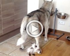 Esta husky no tiene ningún cachorro. Ahora mira lo que su dueña le pone bajo su pata