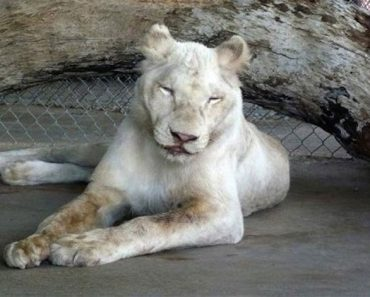 Los rescatadores no creían que este león maltratado sobreviviría. Pero mira cuando entra