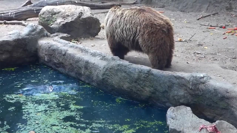 Sucedió en un zoo de Budapest. Este oso hizo algo con un cuervo que dio la vuelta al mundo...