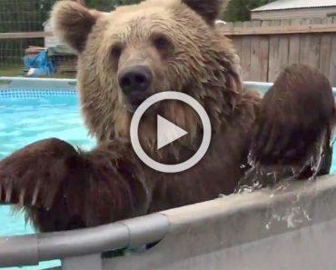 Este enorme oso descubre por primera vez una piscina. ¿Su reacción? ¡Divertidísimo!