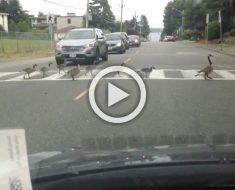 18 patos cruzan la carretera. Ahora mira con detenimiento sus pequeñas patas...