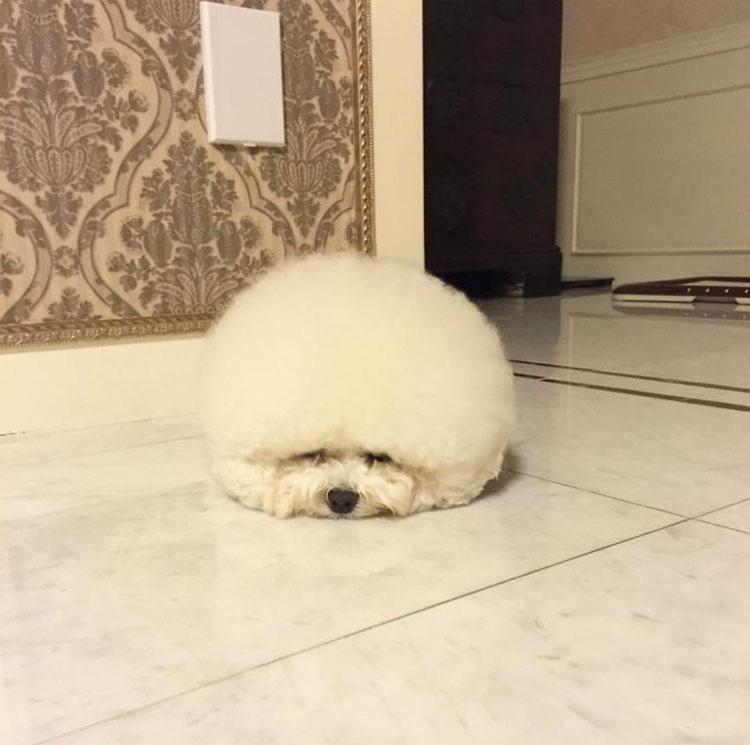 Parece una enorme y mullida bola de algodón - Pero mira cuando se empieza a mover ...