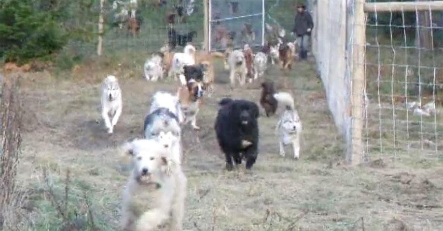 Un hombre ha rescatado a 45 perros. Este es el momento en el que deja que corran libres...