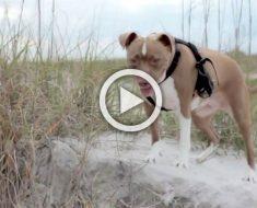 Pitbull rescatado hace su primer paseo por una playa. ¡En el 2:04 te partes de risa!