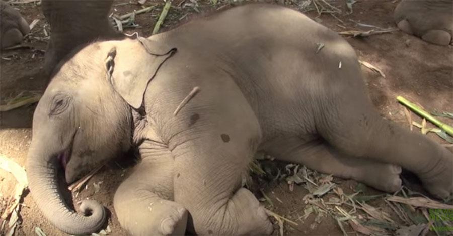 Bebé elefante se dispone para una siesta. Atención a lo que hace su mamá cuando lo ve ...