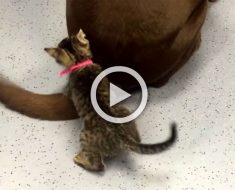 ¡Este gatito piensa que la cola de este perro es el mejor juguete del mundo!