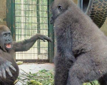 Este gorila huérfano conoce a su nuevo mejor amigo